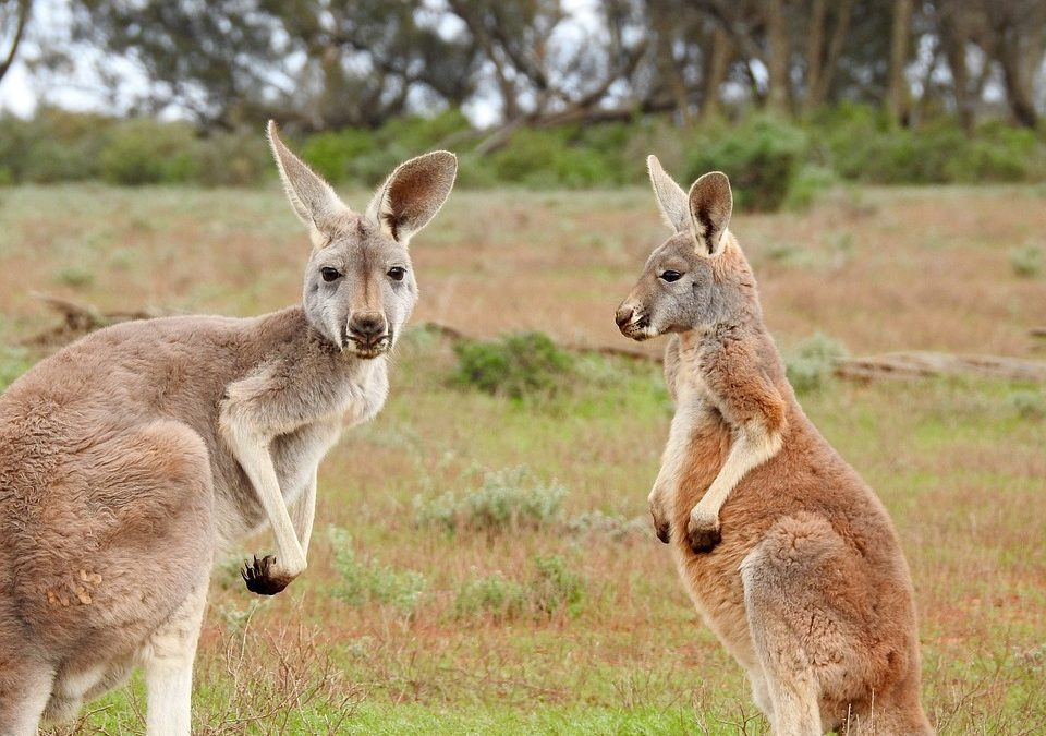 Two Kangaroos With Australian Bush Behind Them