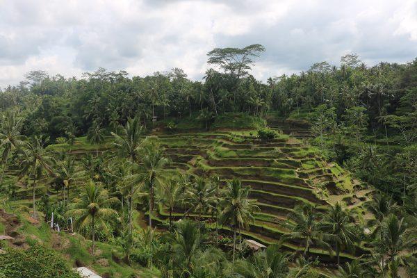 Lush Green Rice Terrace In Bali