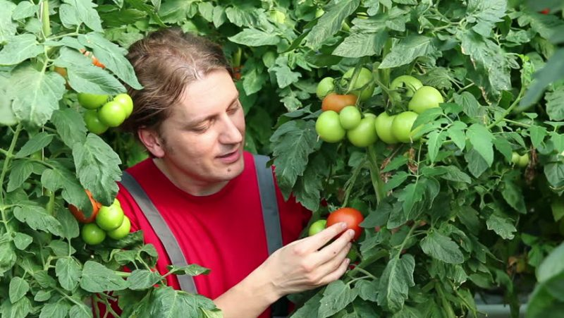 Male Amongst Tomato Plants With Green And Red Tomatoes