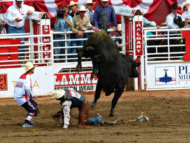 Calgary Stampede Is A Rodeo In Calgary Canada. There Are Clowns Who Distract Bucking Bulls And Horses.