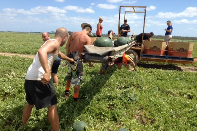 Group Of People Picking Melons and Putting On A Conveyer To Be Put In Boxes On A Machine In The Paddock.